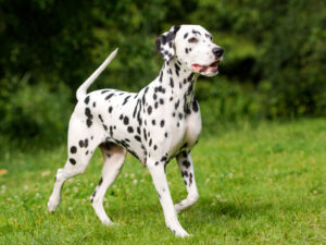 Is It Right For You To Buy Dalmatian Puppy As Your Family Pet?